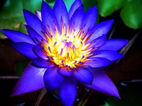 Free Blue Lotus