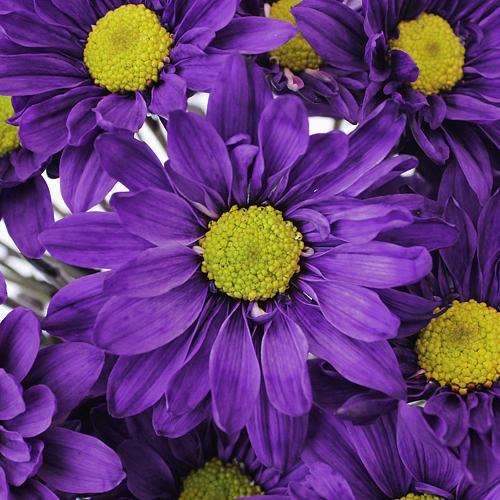 Free Purple Daisy