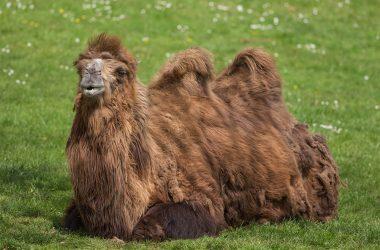 HD Camel