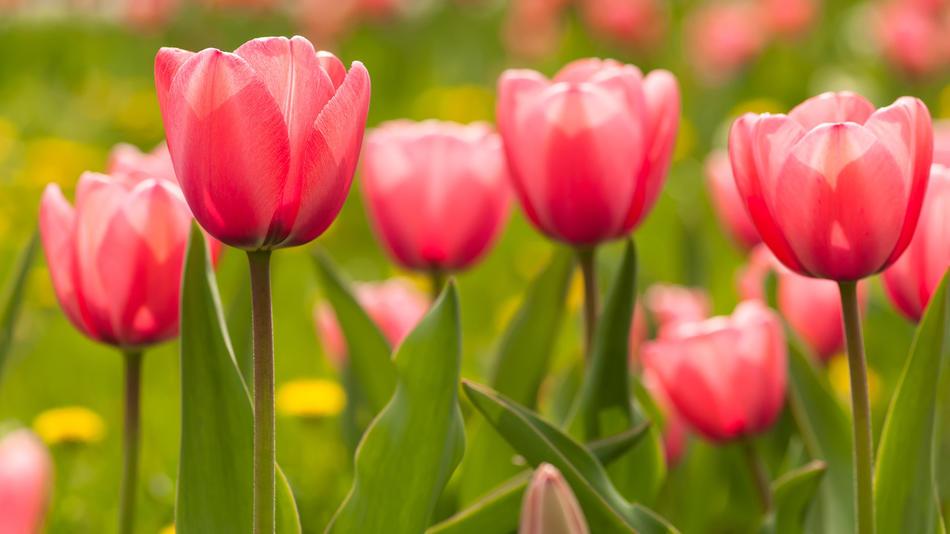 Natural Tulips