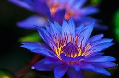 Nice Blue Lotus