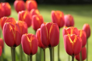 Nice Tulips 20599