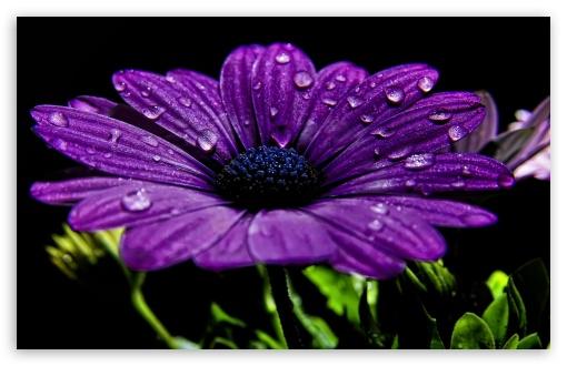 White Purple Daisy
