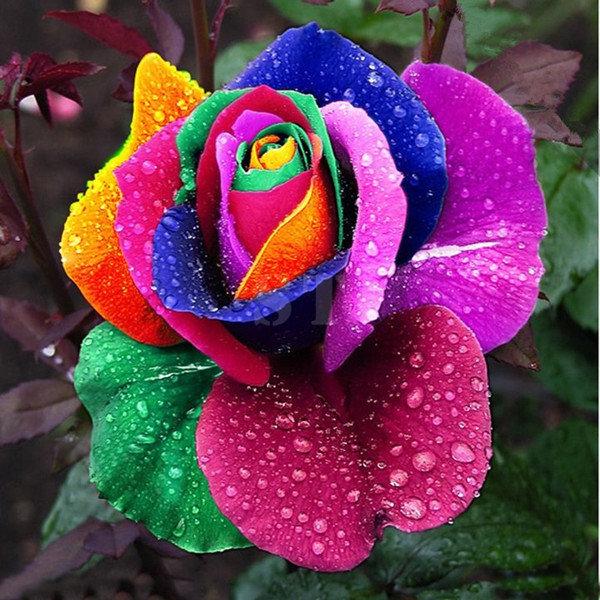 Awesome Rainbow Rose