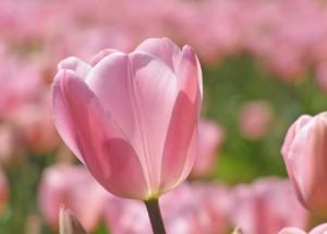Best Pink Tulip