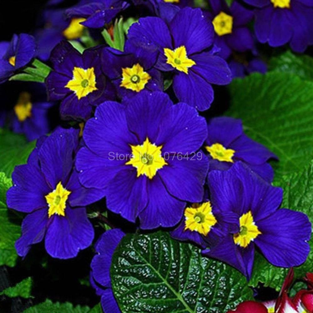 Dark Primrose Blue