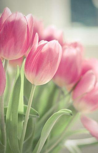 Flower Pink Tulip
