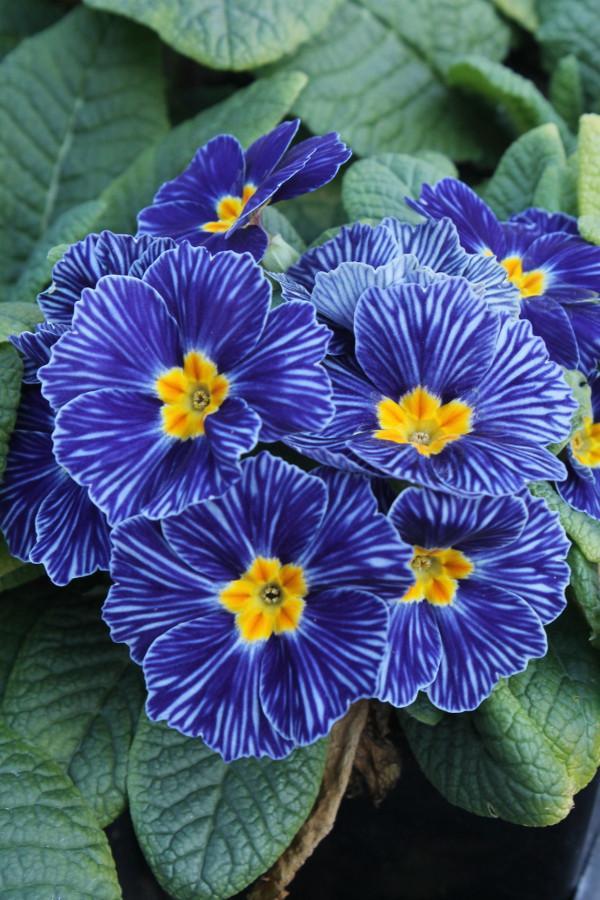 Nice Primrose Blue