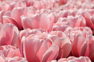 Super Pink Tulip