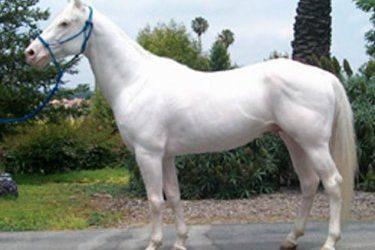 Super White Horse