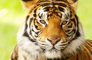 Free Bengal Tiger