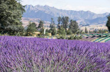 Cool Lavender Farm 24375