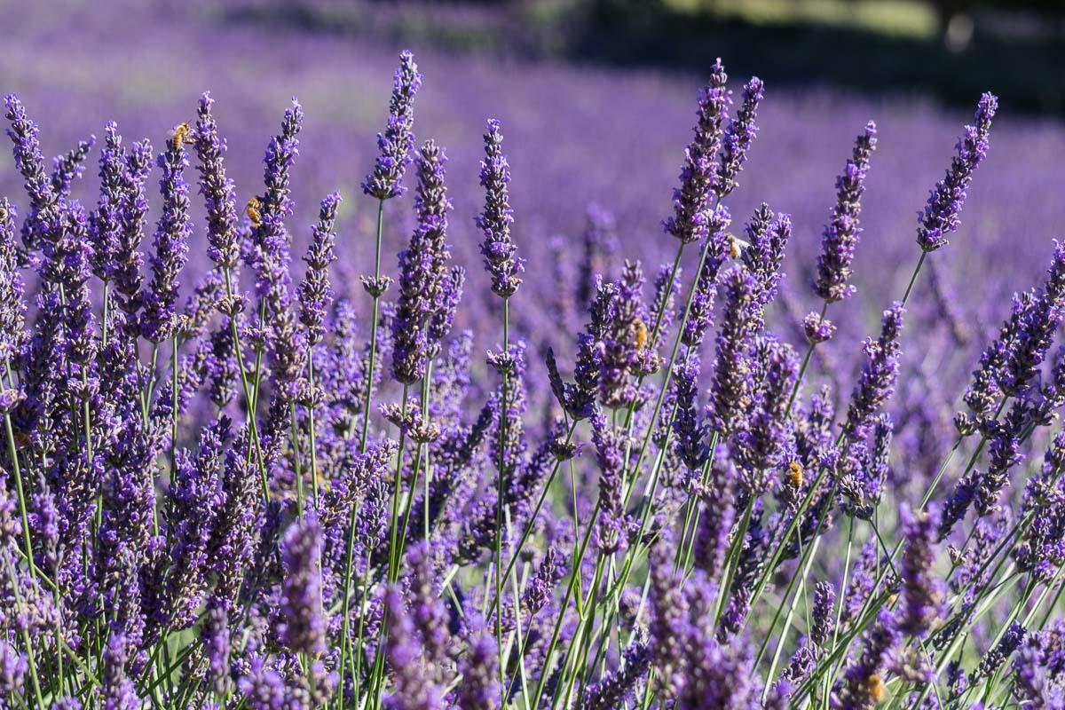 Free Lavender Farm
