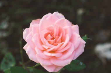 Beautiful Pink Rose 25785