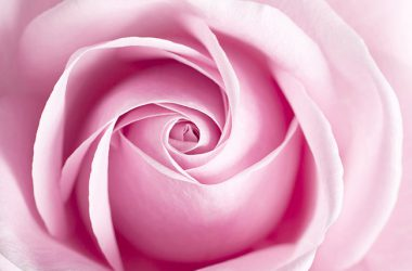 HD Pink Rose