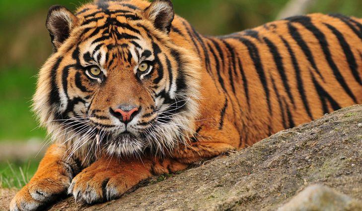Animal Sumatran Tiger