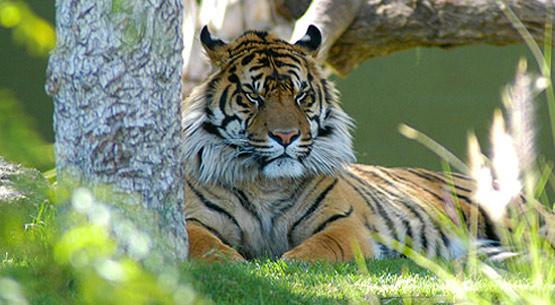 Nice Sumatran Tiger