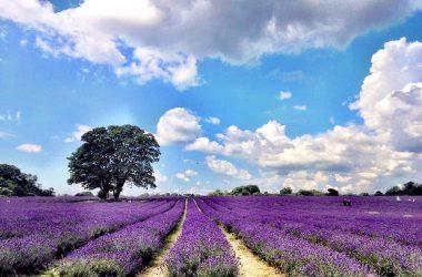 Landscape Lavender Field