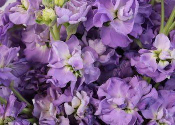 Nice Lavender Flowers 26862