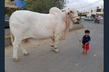 Free Bakra Eid
