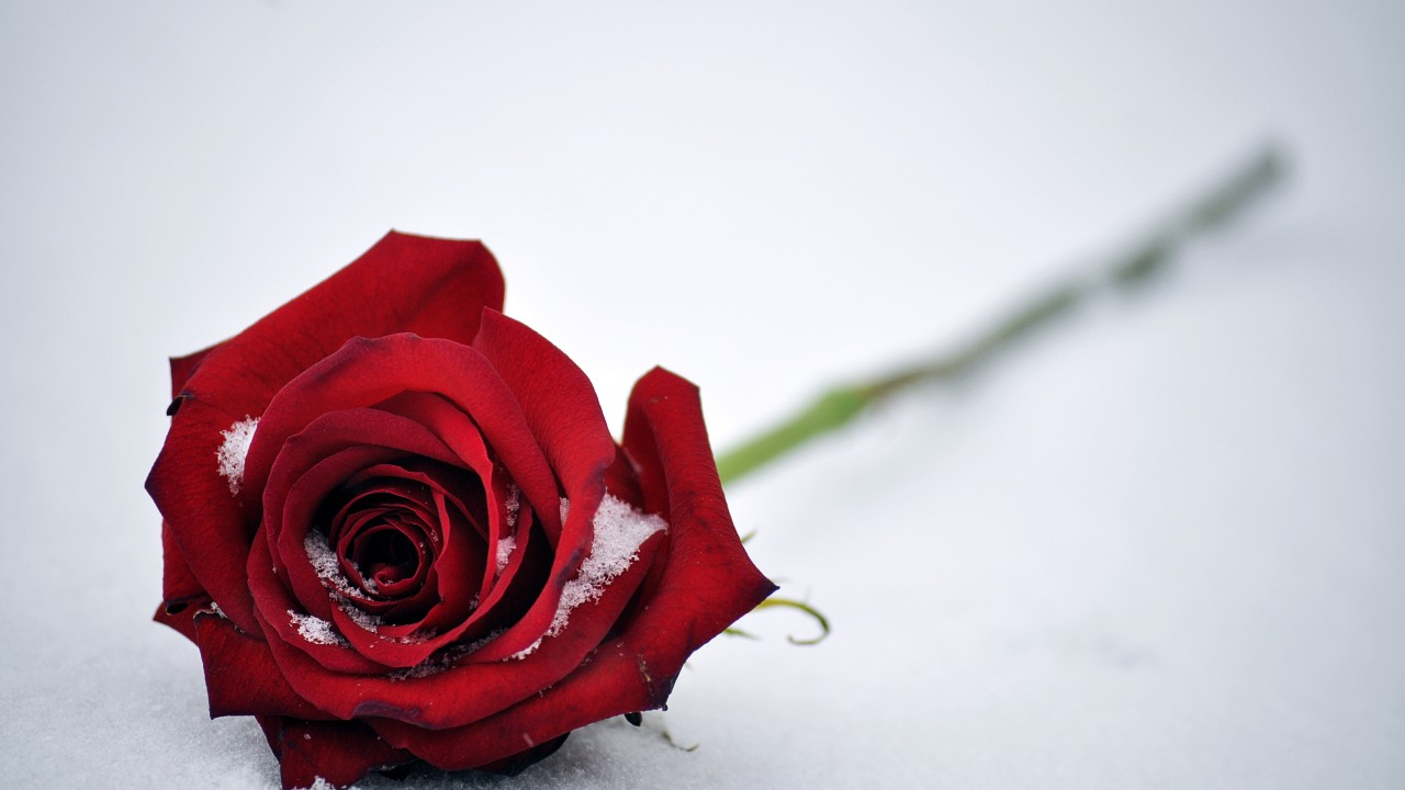 Awesome Rose 4K 27384