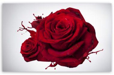 Beautiful Rose 4K 27393