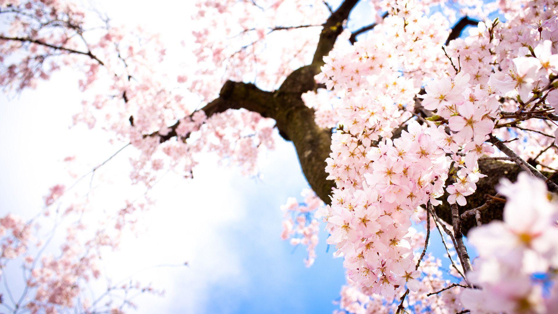 Beautiful Sakura Wallpaper