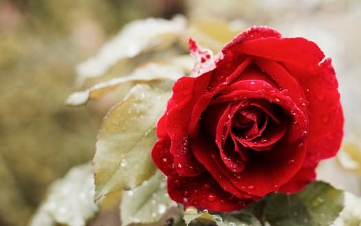 Best Rose 4K