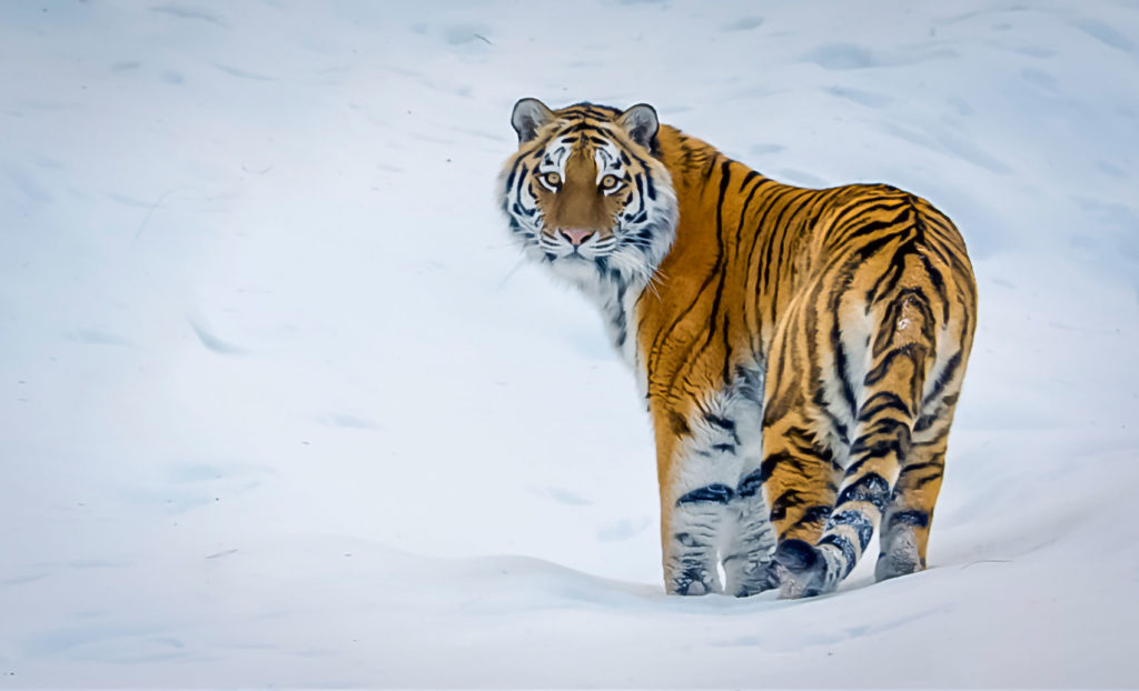 Animal Siberian Tiger