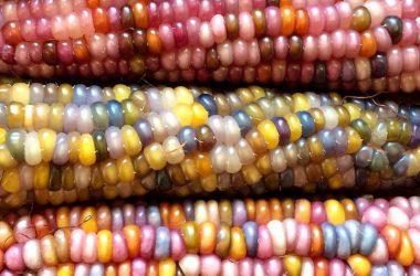 Art Multicolor Corn 28399