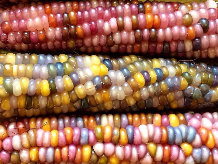 Art Multicolor Corn