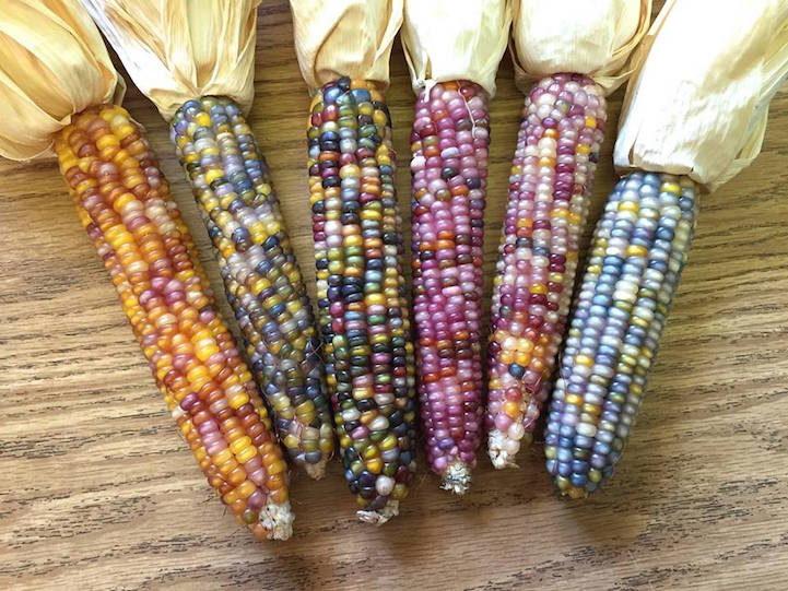 Beautiful Multicolor Corn