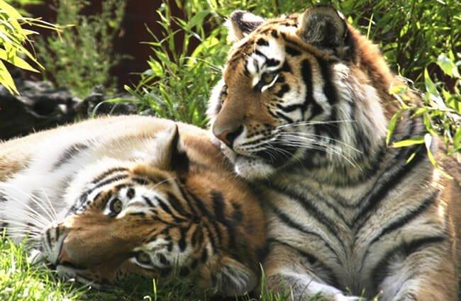 Danger Siberian Tiger