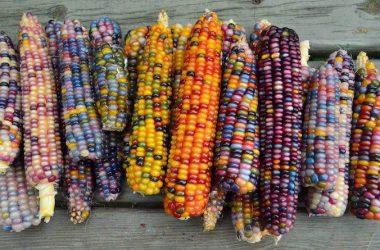 Free Multicolor Corn