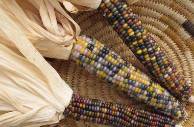 HD Multicolor Corn 28404