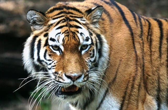 Nice Siberian Tiger