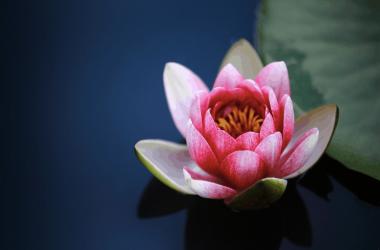 Free Lotus Flower