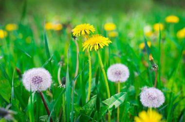 Landscape Dandelion