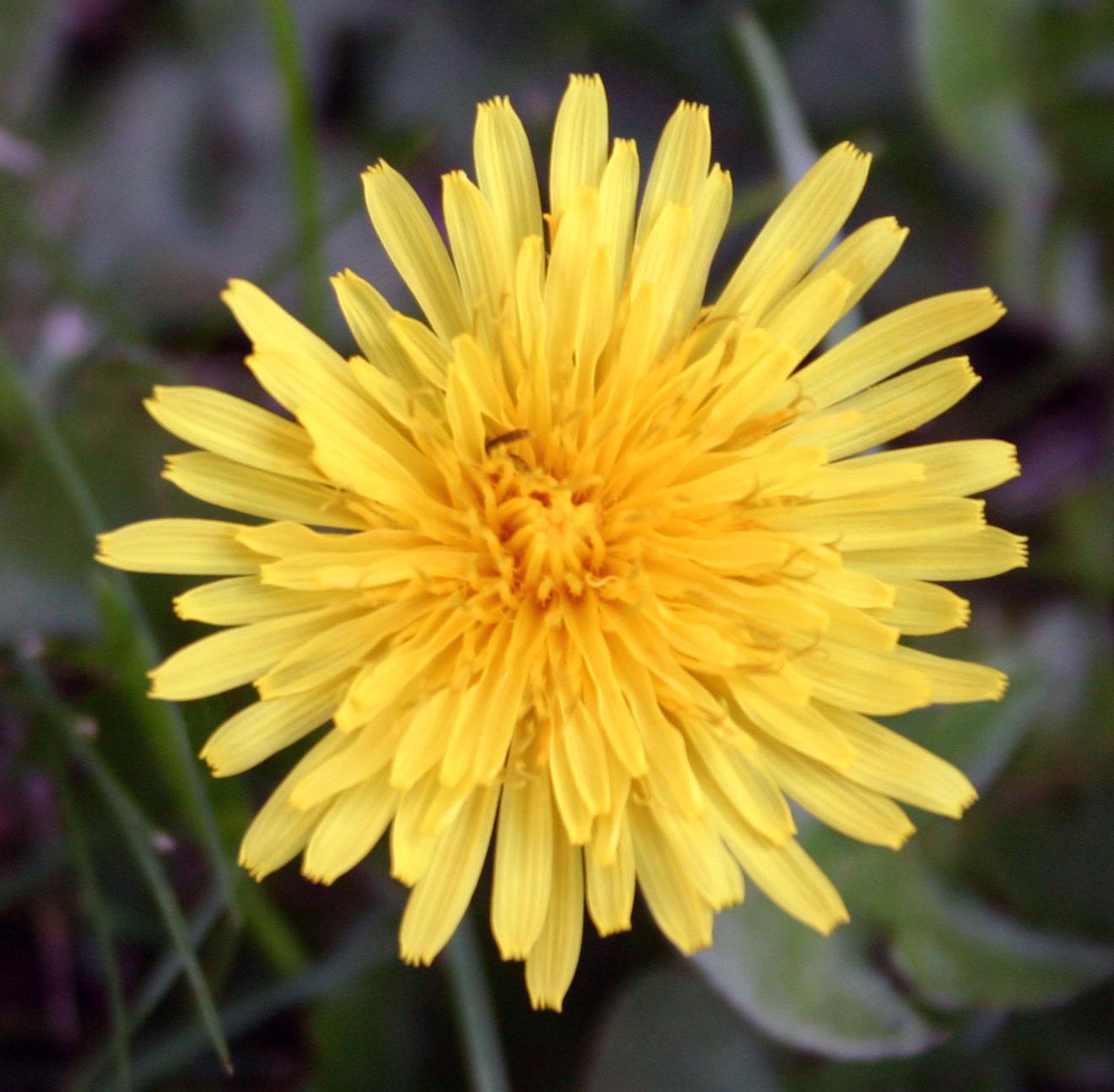 Nice Dandelion
