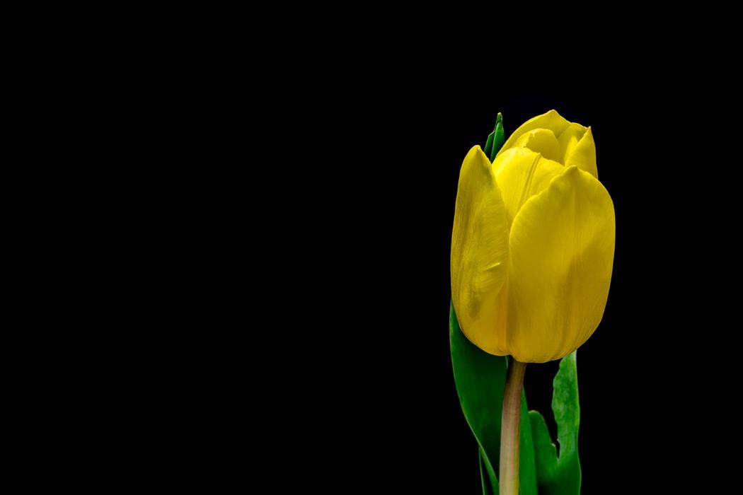 Top Yellow Tulip