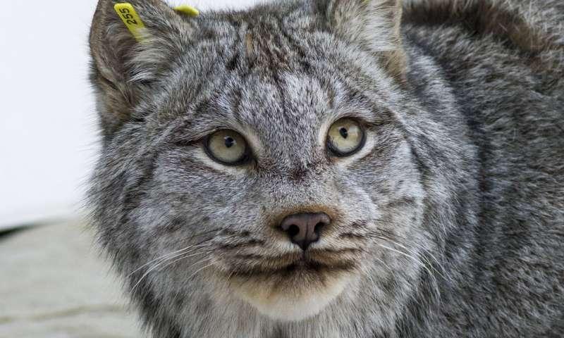 Best Lynx