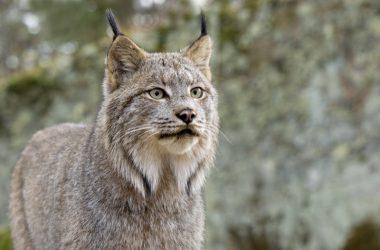 Free Lynx