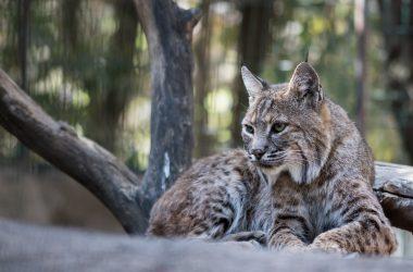Top Lynx