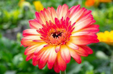 Widescreen Gerbera Daisy