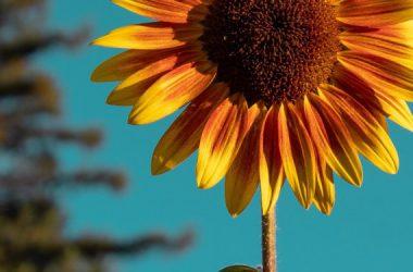Best Sunflower