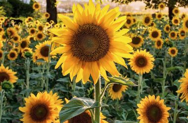 Natural Sunflower 29683