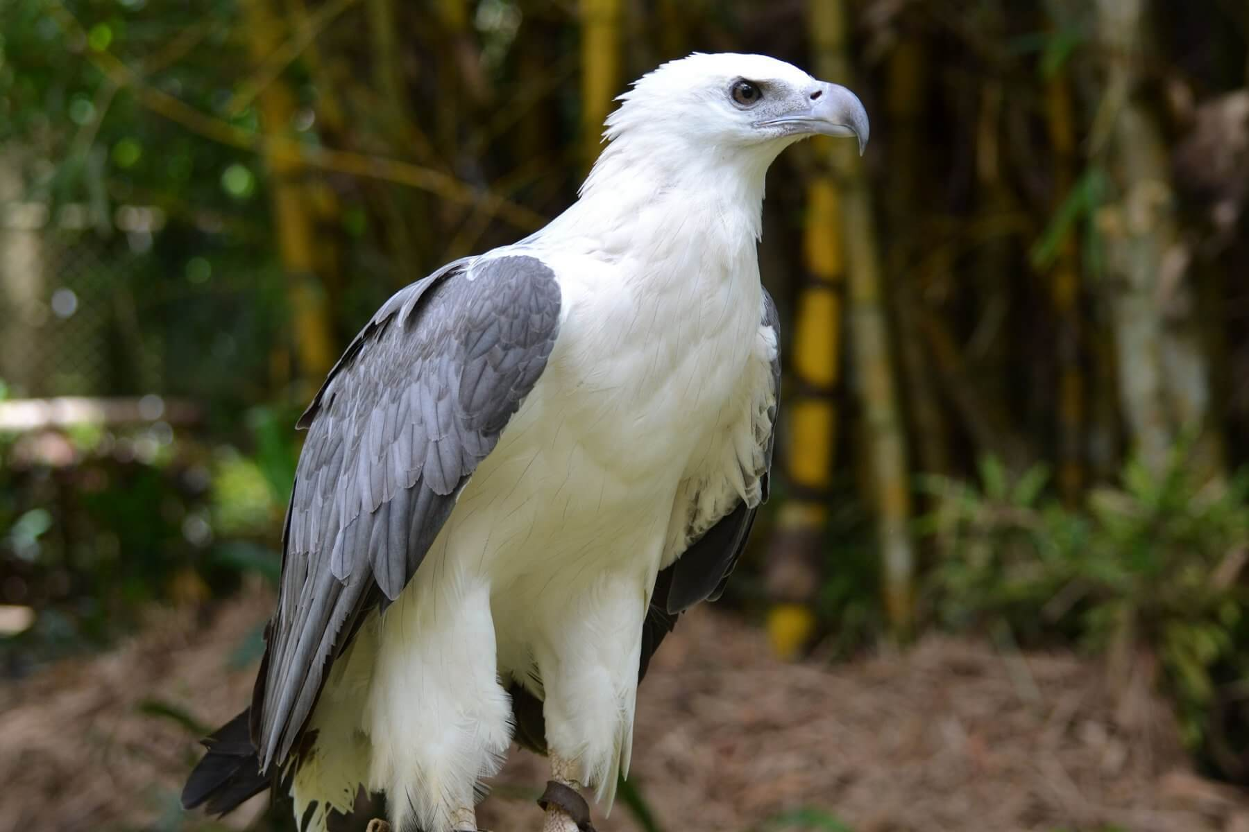 Awesome White Eagle