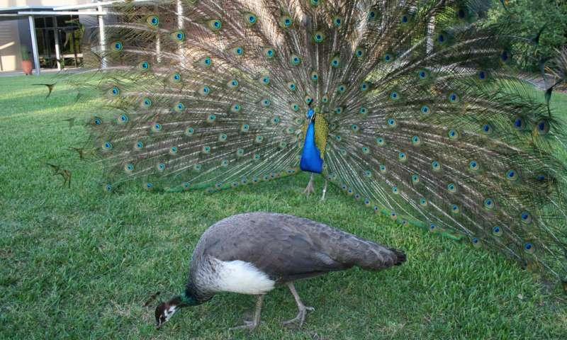Beautiful Peafowl Image