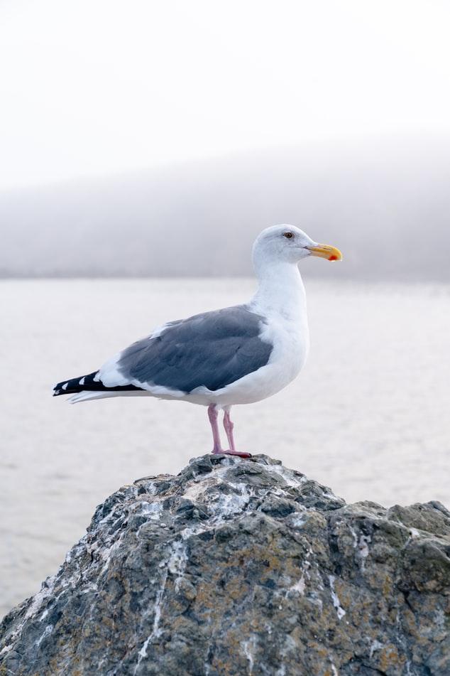 Bird Seagull Image