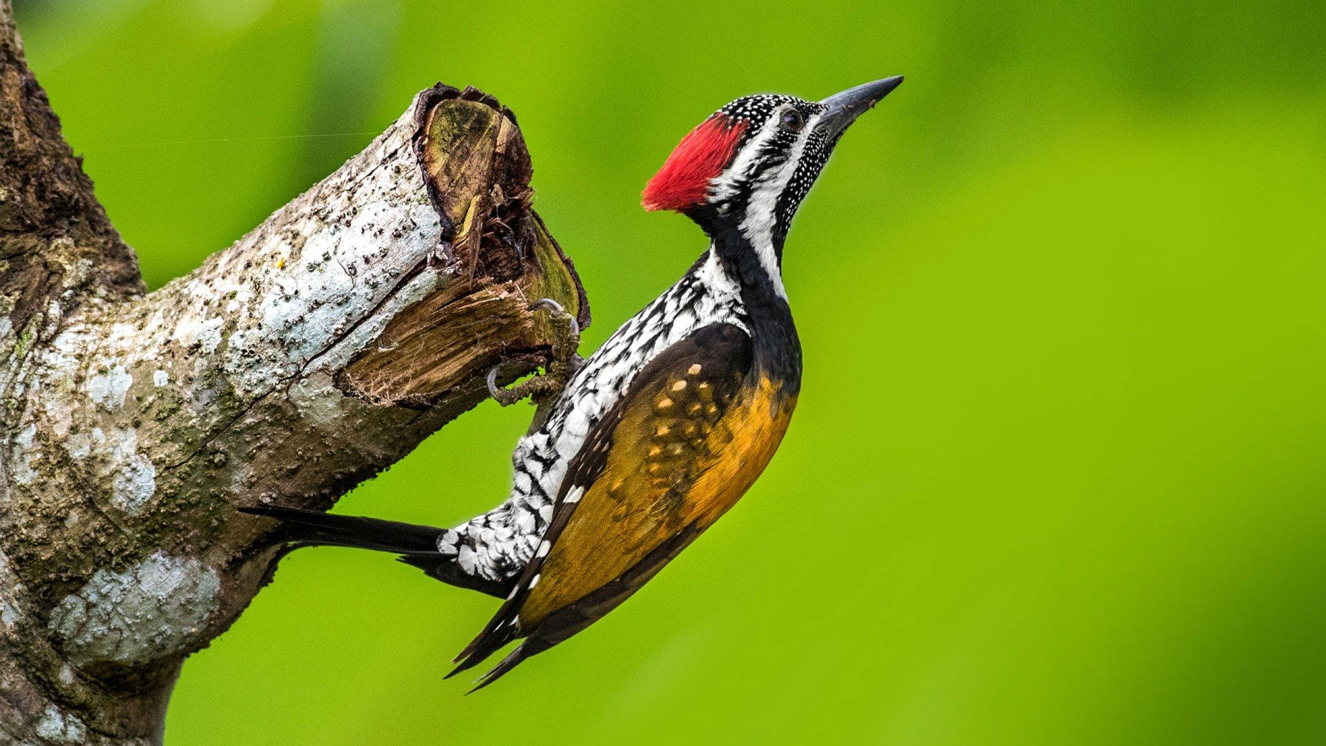 Cute Woodpecker Wallpaper 30229